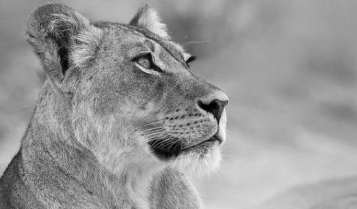 Kort verhaal: De leeuwin